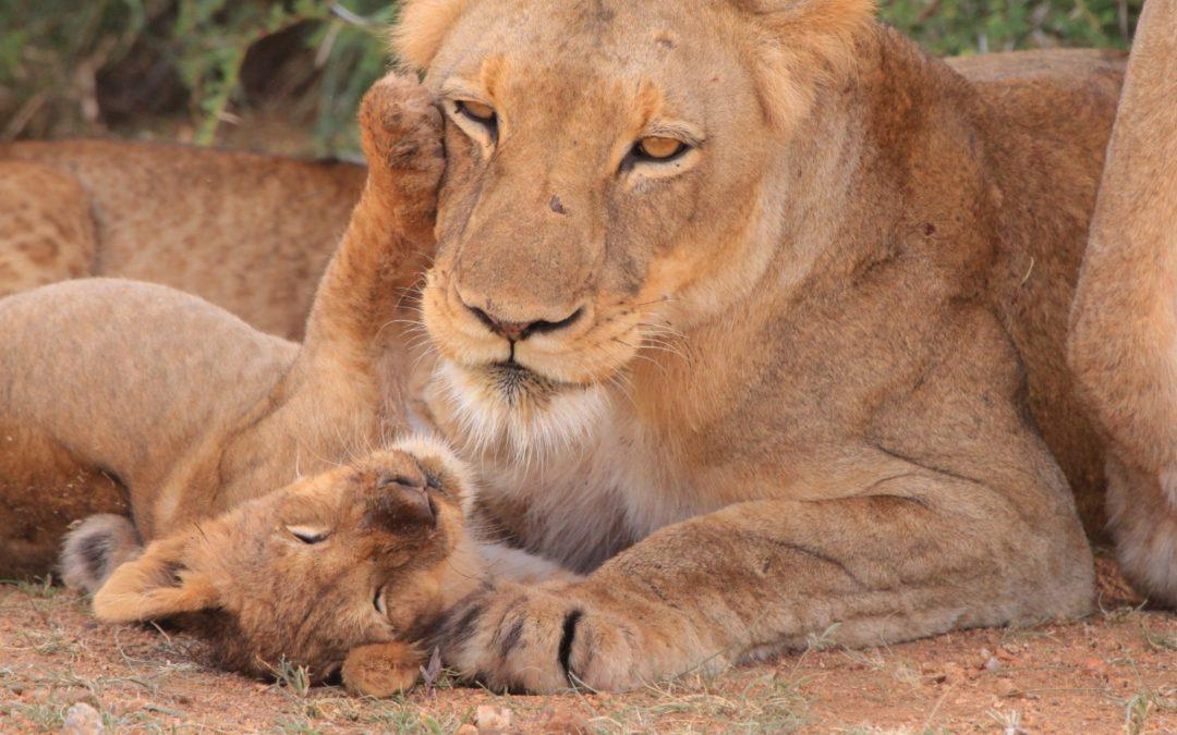 La consciencia del león